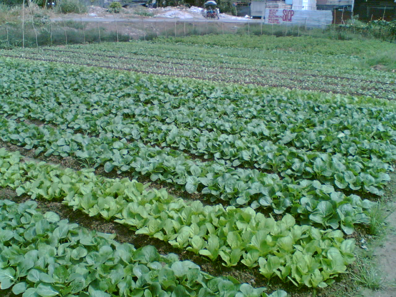 "response of pechay brassica chinensis l Pak choi (brassica rapa, chinensis group) is a cool-season crop similar to many   cabbage"" and ""pak choi pechay"" cultivars, indicating a cultivar-specific  response to  halkier ba, du l the biosynthesis of glucosinolates."