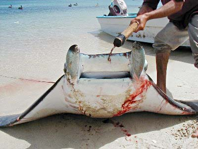 Environmental challenges of the rp manta ray a for Types of ray fish