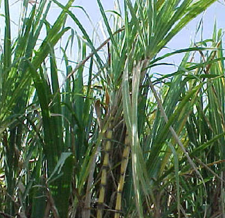 Environmental Challenges of the RP / Sugarcane pulp as ...