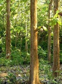 Environmental Challenges Of The Rp Teak Tree 0708